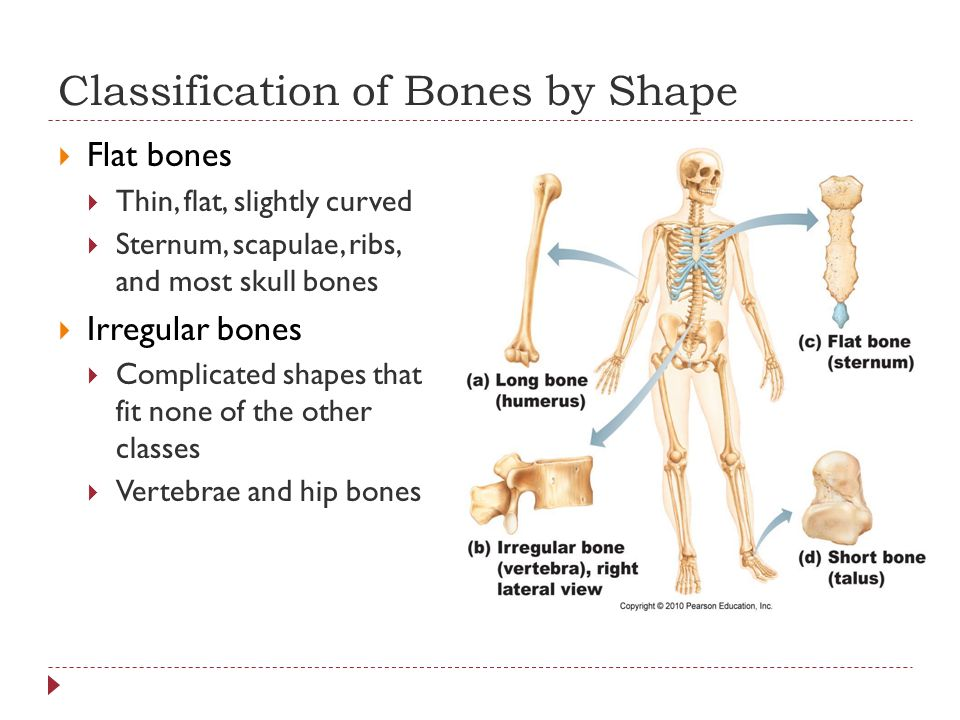 Classification of Bones by Shape  Flat bones  Thin, flat, slightly curved  Sternum, scapulae, ribs, and most skull bones  Irregular bones  Complicated shapes that fit none of the other classes  Vertebrae and hip bones