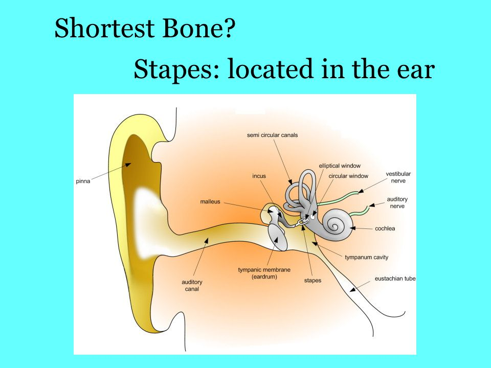 Shortest Bone? Stapes: located in the ear