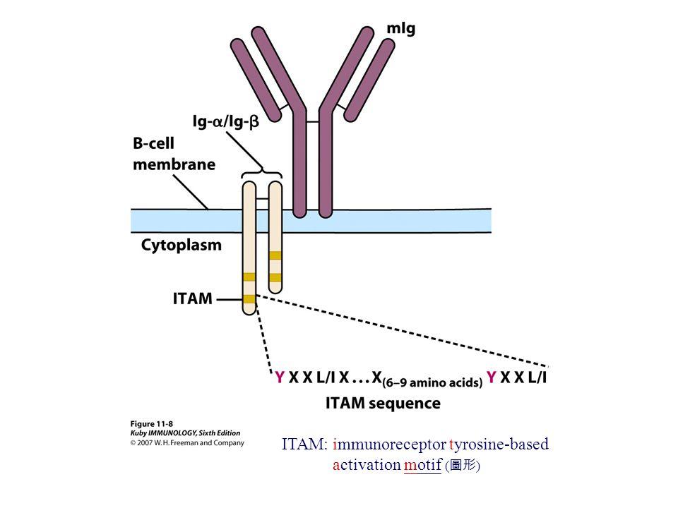 ITAM: immunoreceptor tyrosine-based activation motif ( 圖形 )