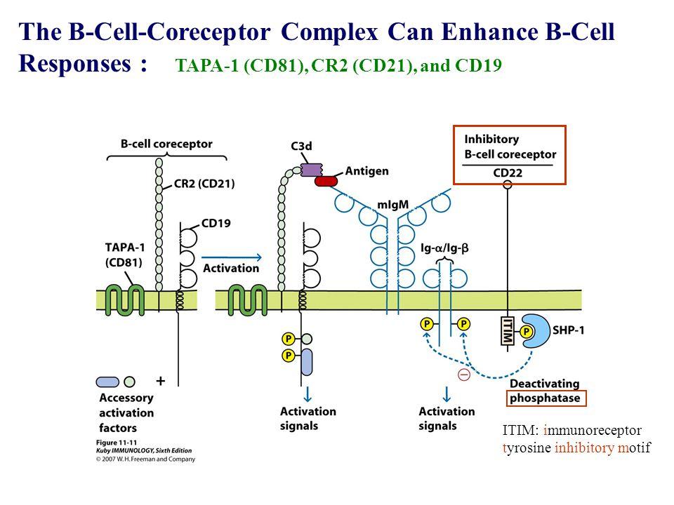The B-Cell-Coreceptor Complex Can Enhance B-Cell Responses : TAPA-1 (CD81), CR2 (CD21), and CD19 ITIM: immunoreceptor tyrosine inhibitory motif