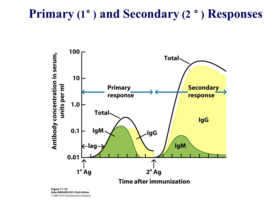 Primary (1° ) and Secondary (2 ° ) Responses