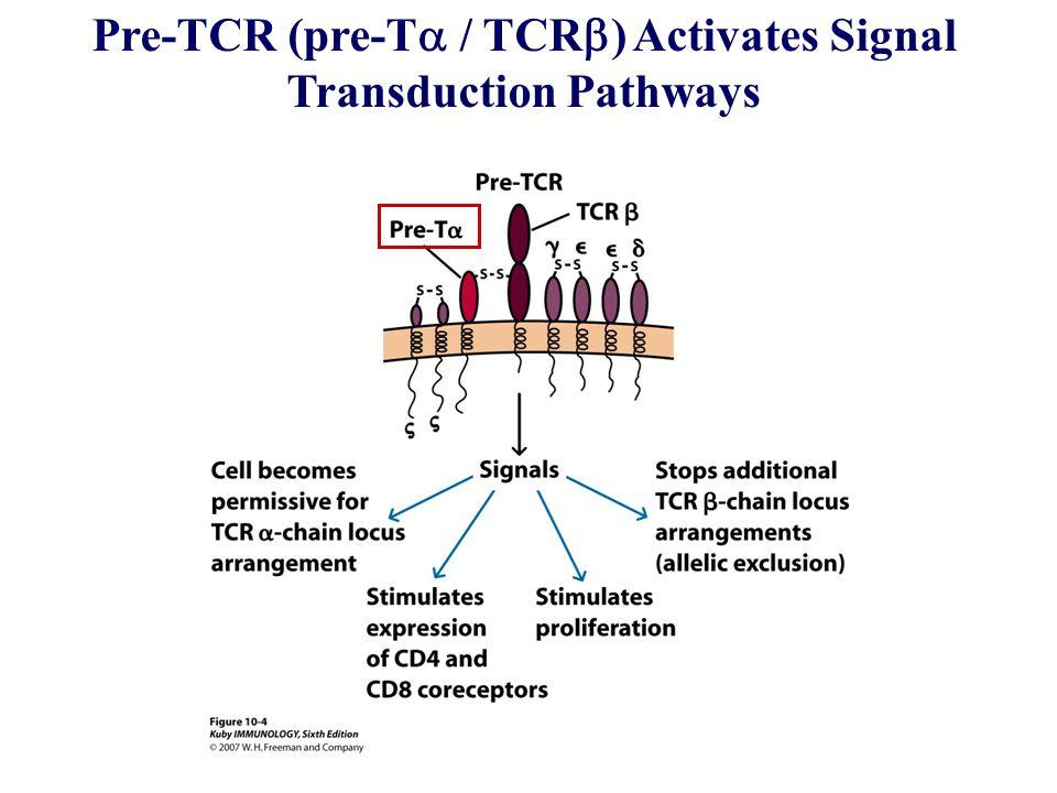 Pre-TCR (pre-T  / TCR  ) Activates Signal Transduction Pathways