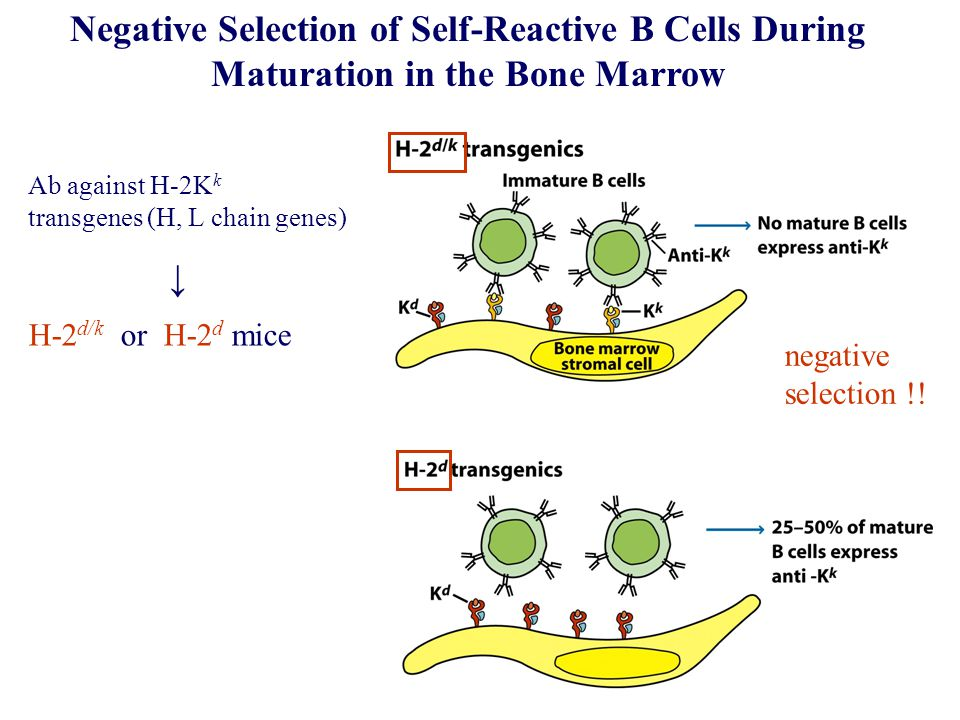Receptor Editing – secondary V(D)J recombination allows B lymphocytes to replace an inappropriate receptor with a new receptor