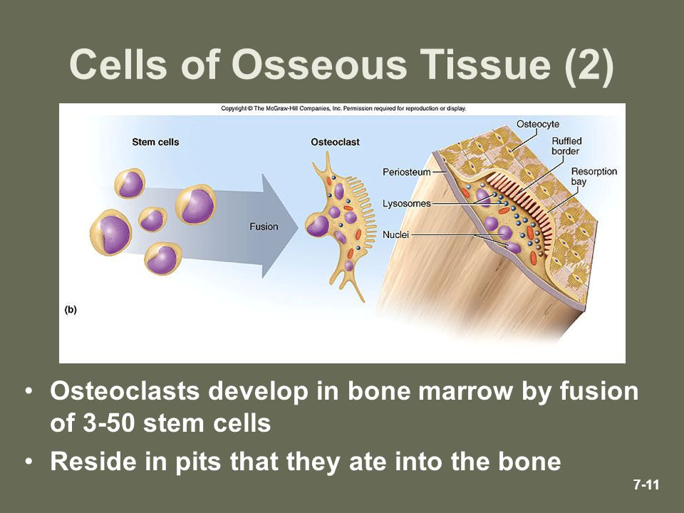 7-11 Cells of Osseous Tissue (2) Osteoclasts develop in bone marrow by fusion of 3-50 stem cells Reside in pits that they ate into the bone