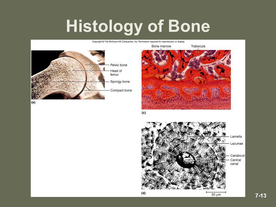 7-13 Histology of Bone