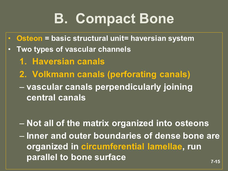 7-15 B. Compact Bone Osteon = basic structural unit= haversian system Two types of vascular channels 1.Haversian canals 2.Volkmann canals (perforating