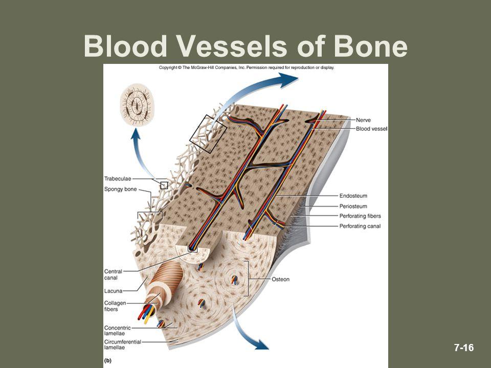 7-16 Blood Vessels of Bone