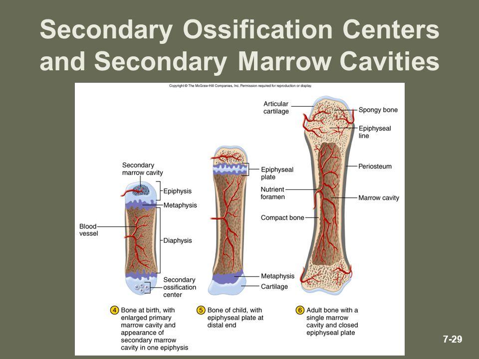 7-29 Secondary Ossification Centers and Secondary Marrow Cavities