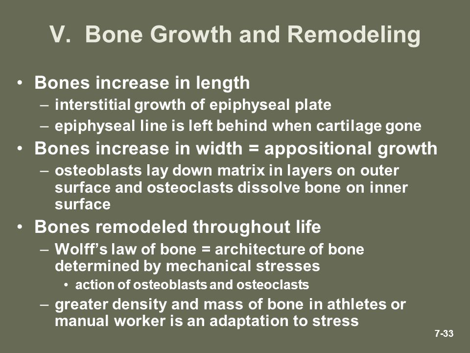 7-33 V. Bone Growth and Remodeling Bones increase in length –interstitial growth of epiphyseal plate –epiphyseal line is left behind when cartilage go
