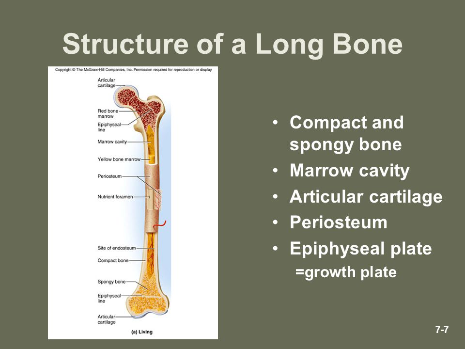 7-7 Structure of a Long Bone Compact and spongy bone Marrow cavity Articular cartilage Periosteum Epiphyseal plate =growth plate