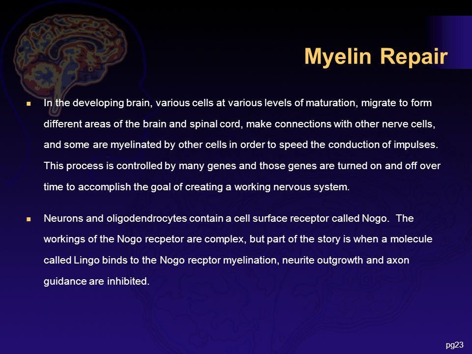 Myelin Repair n In the developing brain, various cells at various levels of maturation, migrate to form different areas of the brain and spinal cord, make connections with other nerve cells, and some are myelinated by other cells in order to speed the conduction of impulses.