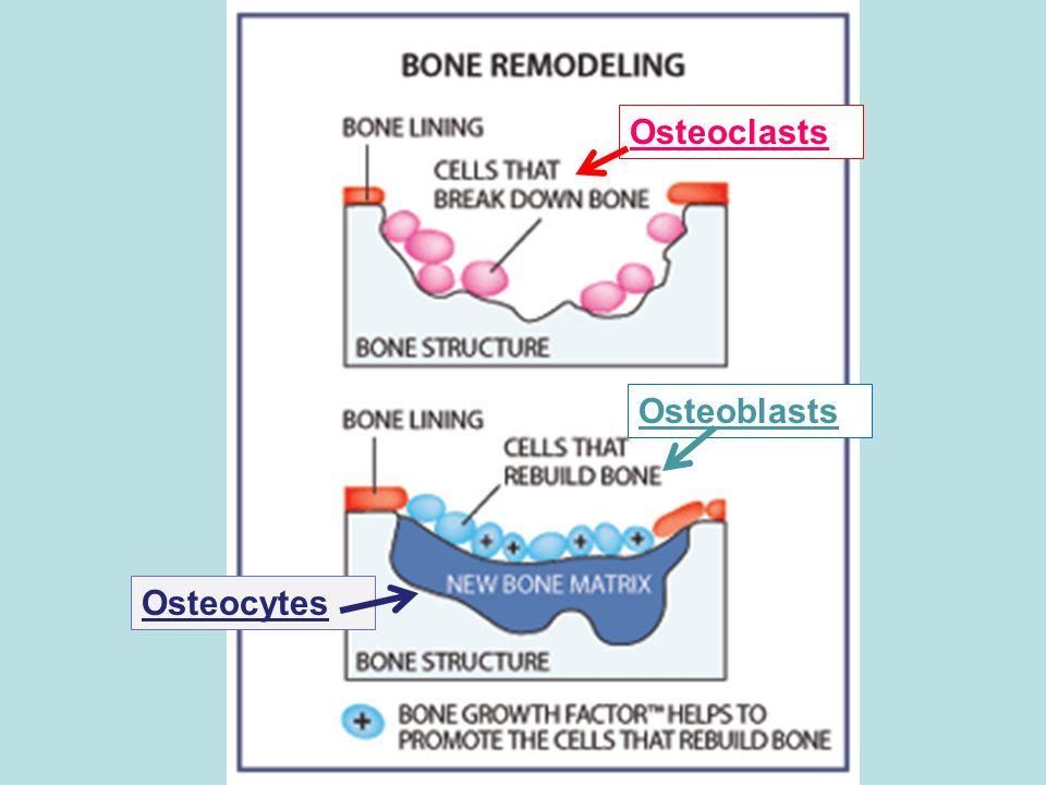 Osteoclasts Osteoblasts Osteocytes