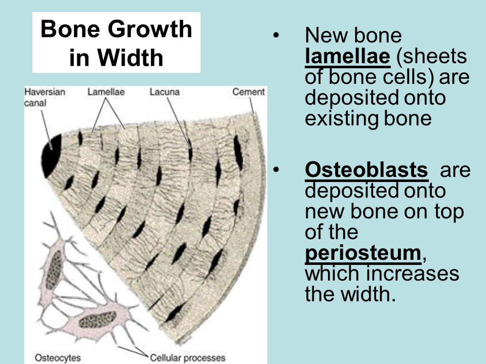 New bone lamellae (sheets of bone cells) are deposited onto existing bone Osteoblasts are deposited onto new bone on top of the periosteum, which increases the width.
