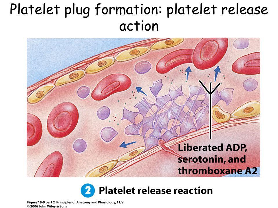 Platelet plug formation: platelet release action