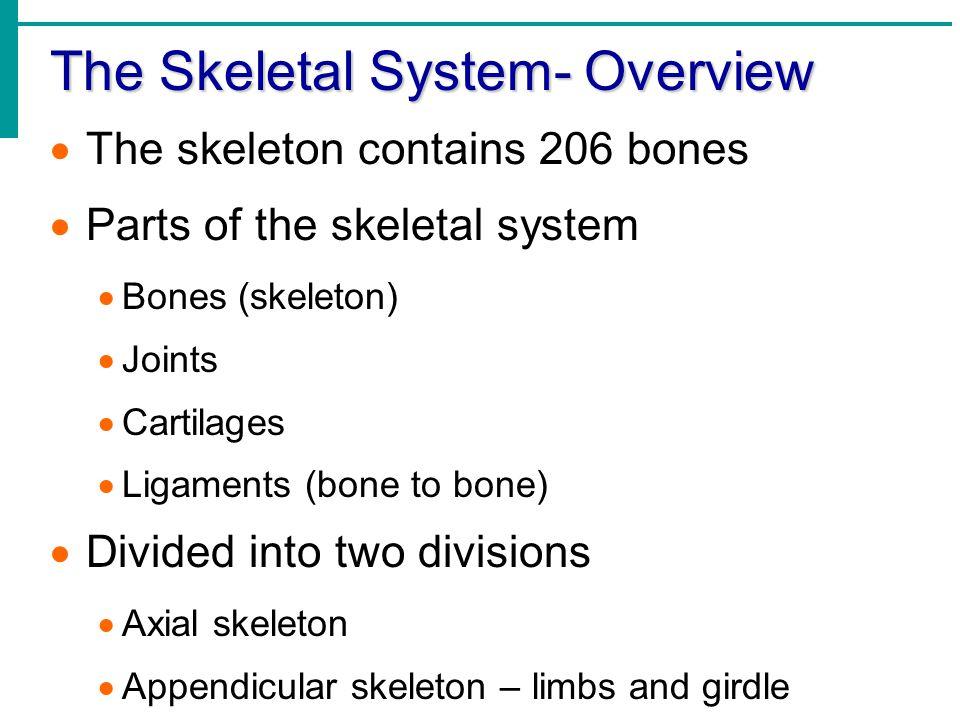 The Skeletal System- Overview  The skeleton contains 206 bones  Parts of the skeletal system  Bones (skeleton)  Joints  Cartilages  Ligaments (b