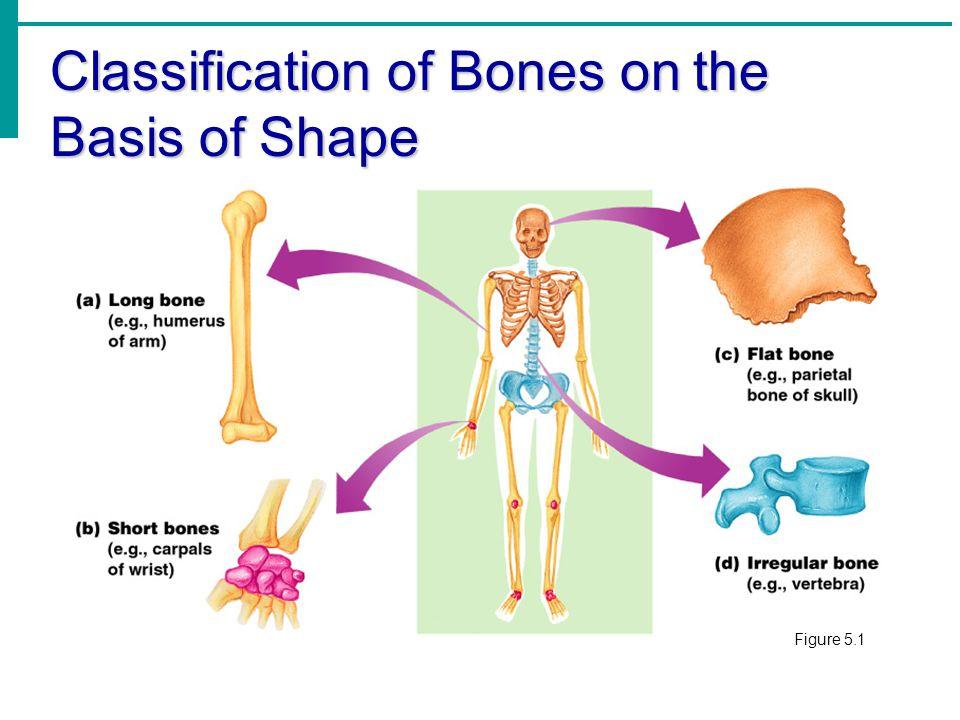 Types of Bone Cells  Osteocytes  Mature bone cells  Osteoblasts  Bone-forming cells  Osteoclasts  Bone-destroying cells  Break down bone matrix for remodeling and release of calcium  Bone remodeling is a process by both osteoblasts and osteoclasts