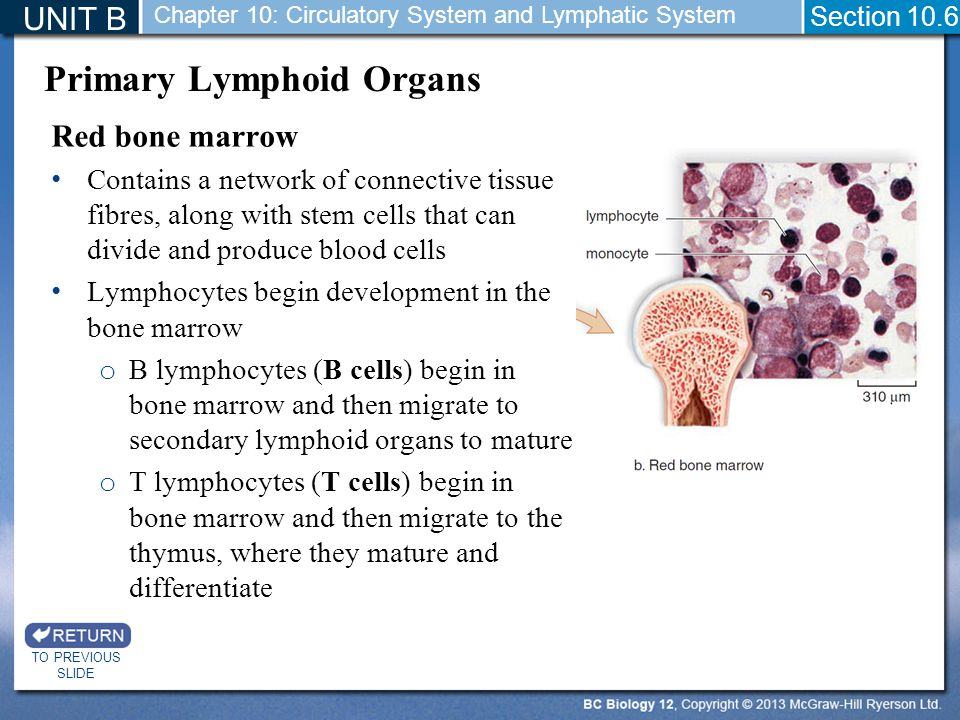 UNIT B TO PREVIOUS SLIDE Section 10.6 Chapter 10: Circulatory System and Lymphatic System Red bone marrow Contains a network of connective tissue fibres, along with stem cells that can divide and produce blood cells Lymphocytes begin development in the bone marrow o B lymphocytes (B cells) begin in bone marrow and then migrate to secondary lymphoid organs to mature o T lymphocytes (T cells) begin in bone marrow and then migrate to the thymus, where they mature and differentiate Primary Lymphoid Organs