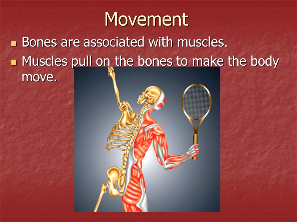 Movement Bones are associated with muscles. Bones are associated with muscles. Muscles pull on the bones to make the body move. Muscles pull on the bo