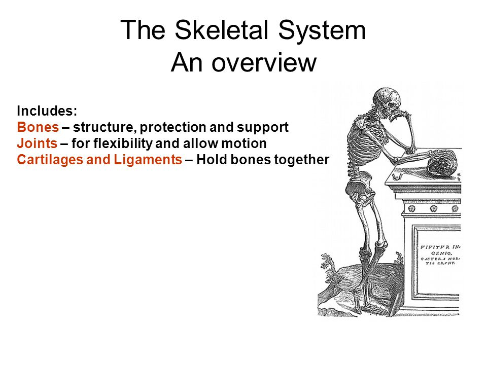 The Skeletal System An overview Includes: Bones – structure, protection and support Joints – for flexibility and allow motion Cartilages and Ligaments