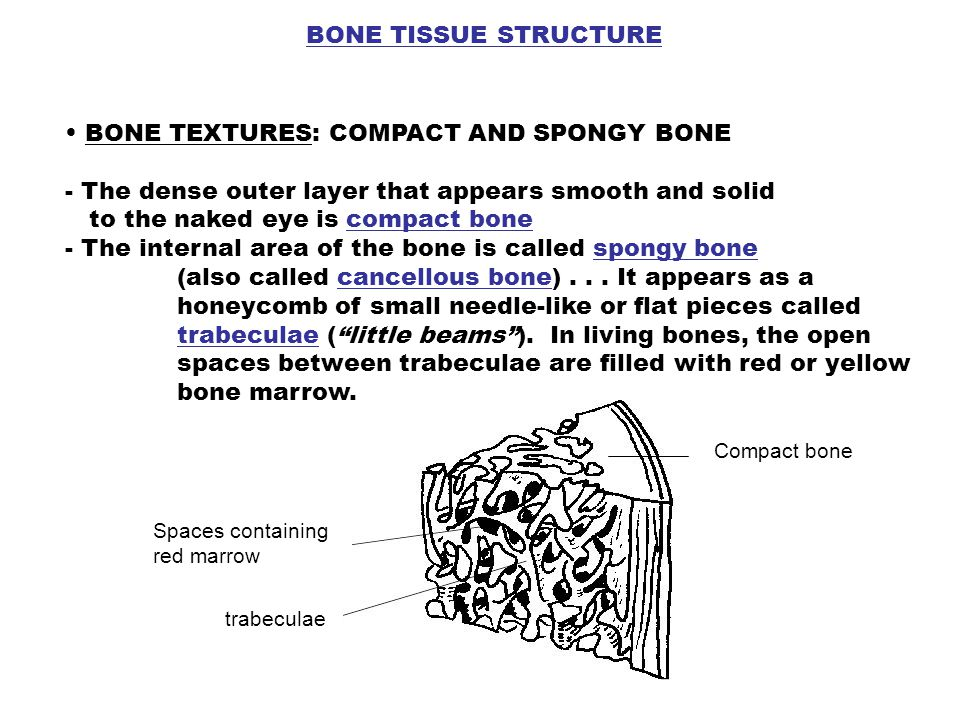 BONE TISSUE STRUCTURE BONE TEXTURES: COMPACT AND SPONGY BONE - The dense outer layer that appears smooth and solid to the naked eye is compact bone -
