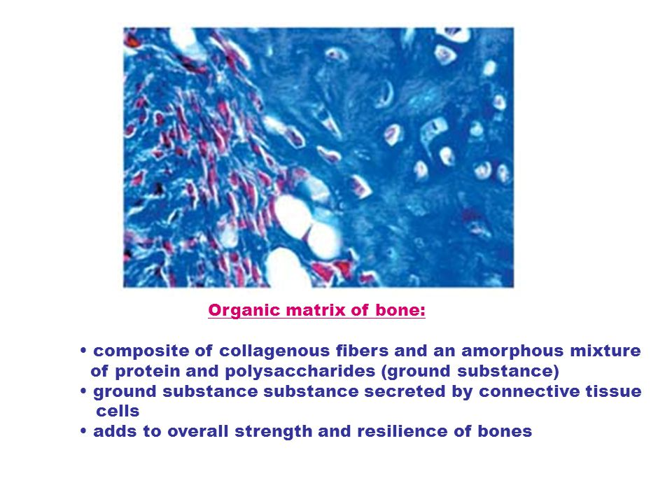 Organic matrix of bone: composite of collagenous fibers and an amorphous mixture of protein and polysaccharides (ground substance) ground substance su