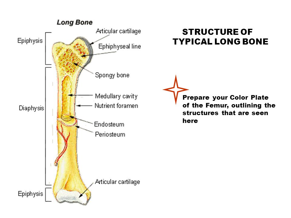 STRUCTURE OF TYPICAL LONG BONE Prepare your Color Plate of the Femur, outlining the structures that are seen here