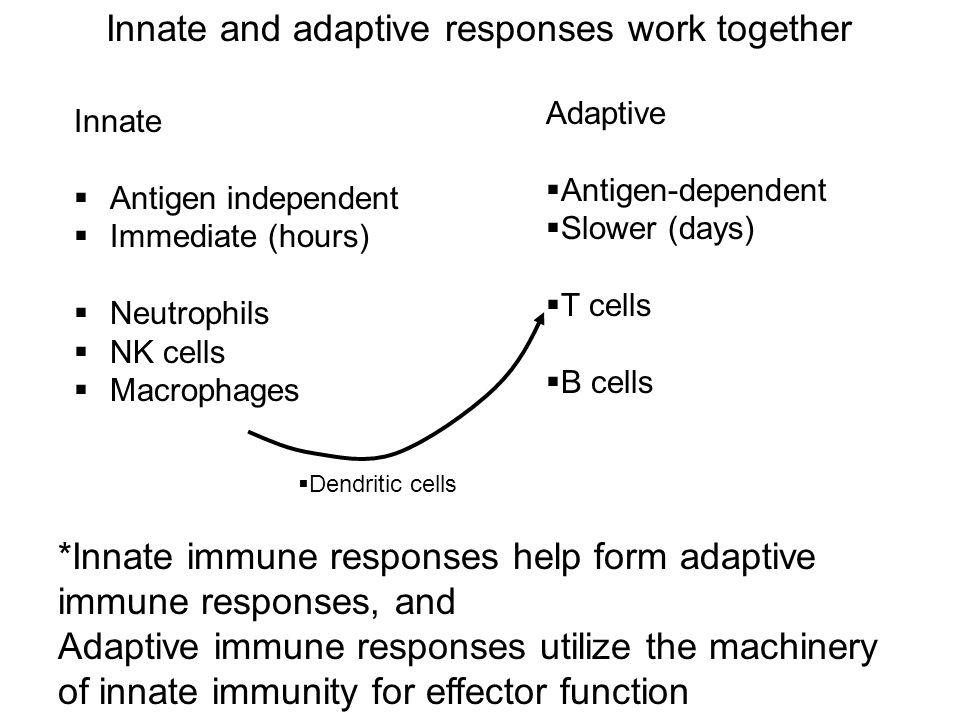 Innate and adaptive responses work together Innate  Antigen independent  Immediate (hours)  Neutrophils  NK cells  Macrophages Adaptive  Antigen