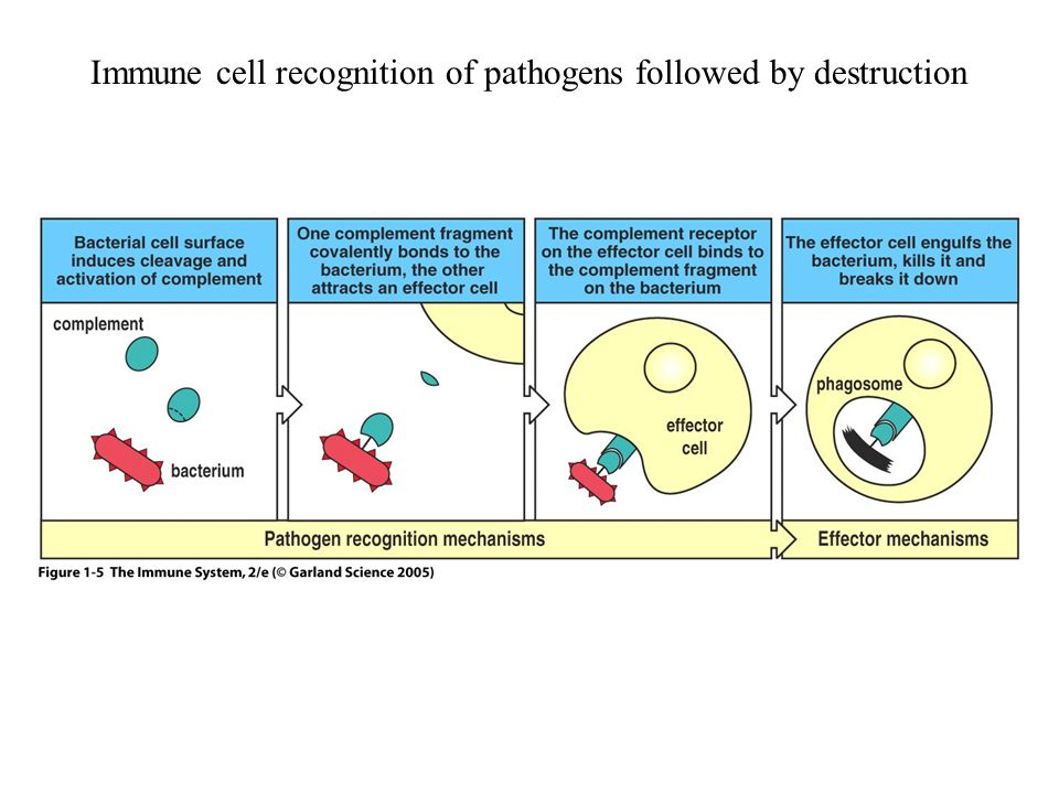Figure 1-5 Immune cell recognition of pathogens followed by destruction