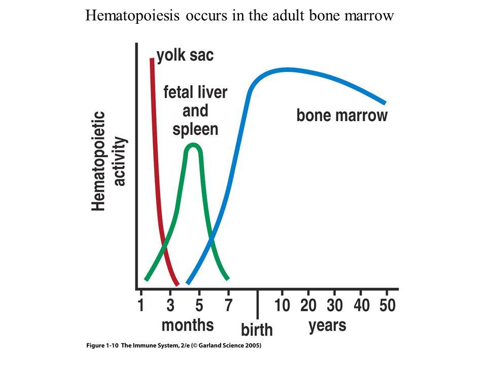 Figure 1-10 Hematopoiesis occurs in the adult bone marrow