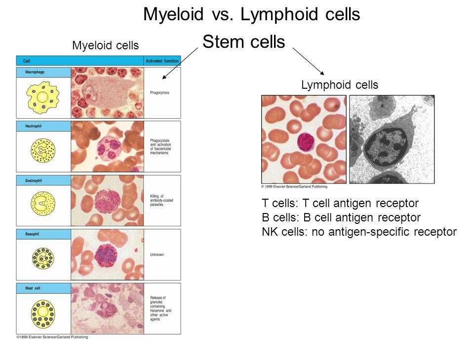 Myeloid vs. Lymphoid cells Stem cells T cells: T cell antigen receptor B cells: B cell antigen receptor NK cells: no antigen-specific receptor Myeloid