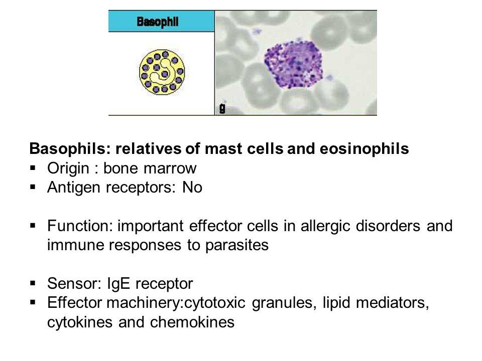 Basophils: relatives of mast cells and eosinophils  Origin : bone marrow  Antigen receptors: No  Function: important effector cells in allergic dis