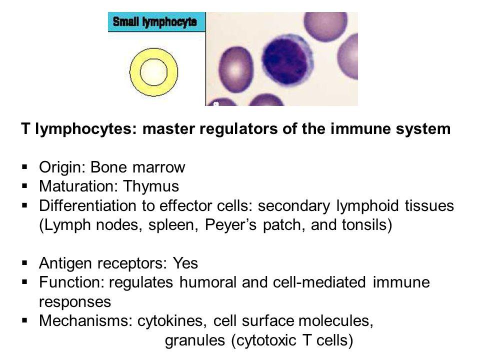 T lymphocytes: master regulators of the immune system  Origin: Bone marrow  Maturation: Thymus  Differentiation to effector cells: secondary lympho