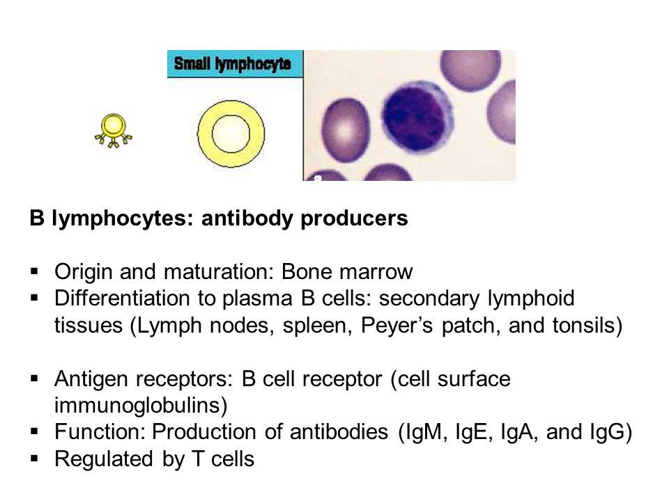 B lymphocytes: antibody producers  Origin and maturation: Bone marrow  Differentiation to plasma B cells: secondary lymphoid tissues (Lymph nodes, s