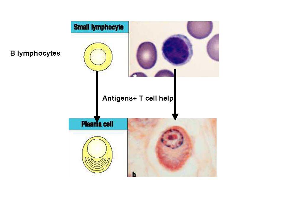 Antigens+ T cell help B lymphocytes
