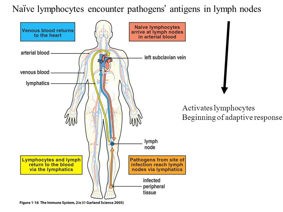 Figure 1-16 Na ï ve lymphocytes encounter pathogens ' antigens in lymph nodes Activates lymphocytes Beginning of adaptive response