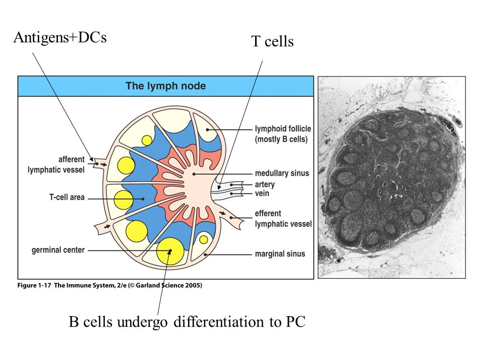 Figure 1-17 Antigens+DCs T cells B cells undergo differentiation to PC