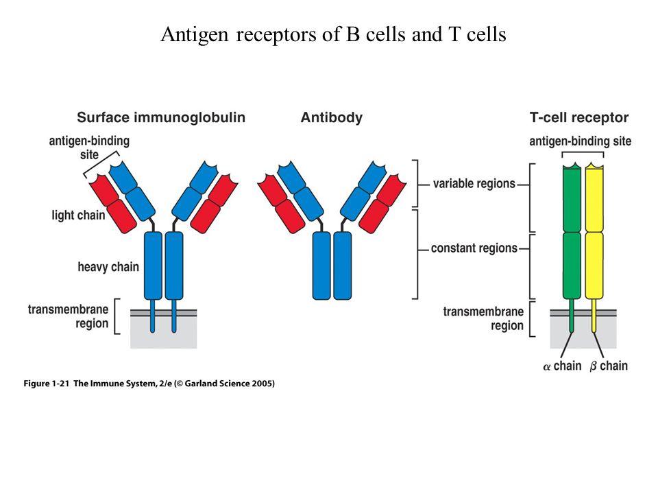 Figure 1-21 Antigen receptors of B cells and T cells