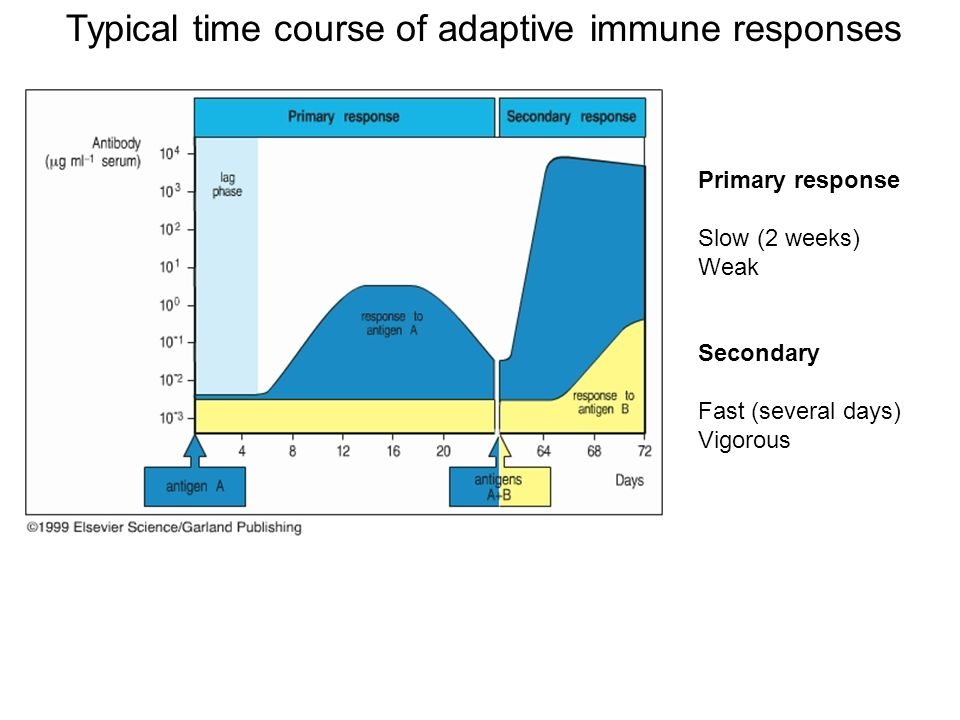 Typical time course of adaptive immune responses Primary response Slow (2 weeks) Weak Secondary Fast (several days) Vigorous