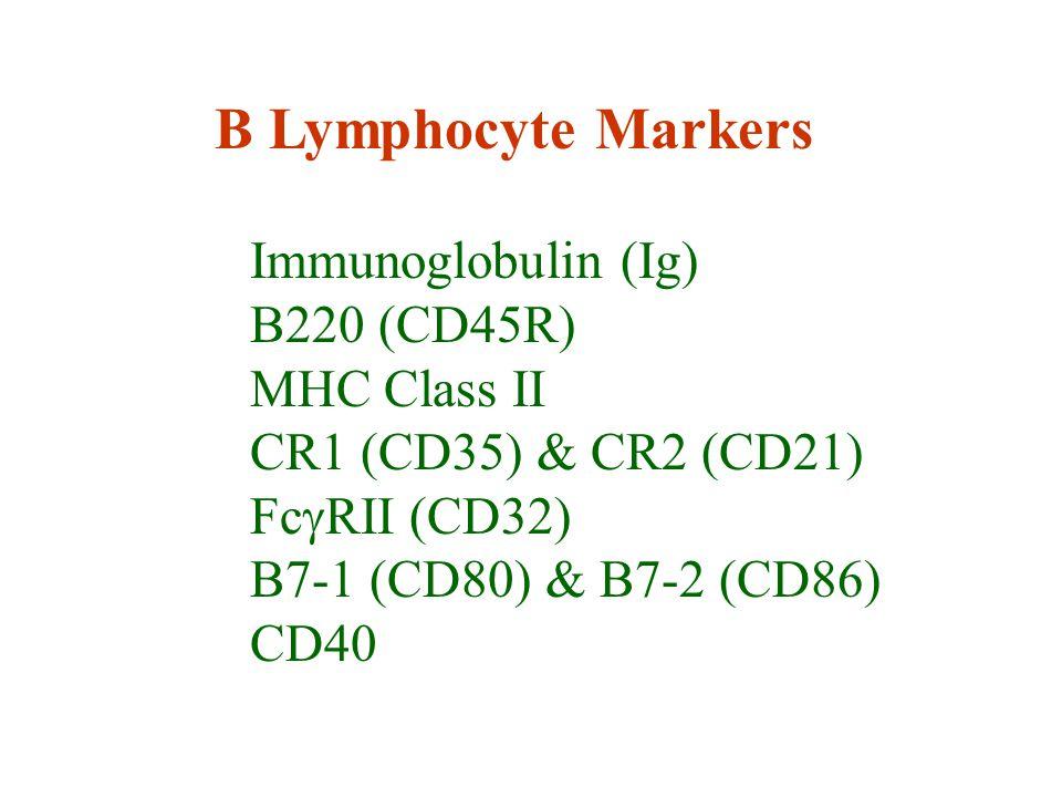 B Lymphocyte Markers Immunoglobulin (Ig) B220 (CD45R) MHC Class II CR1 (CD35) & CR2 (CD21) Fc  RII (CD32) B7-1 (CD80) & B7-2 (CD86) CD40
