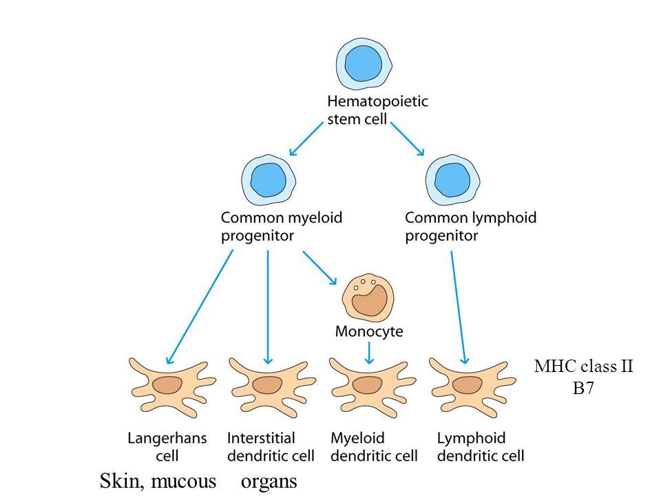 Skin, mucousorgans MHC class II B7