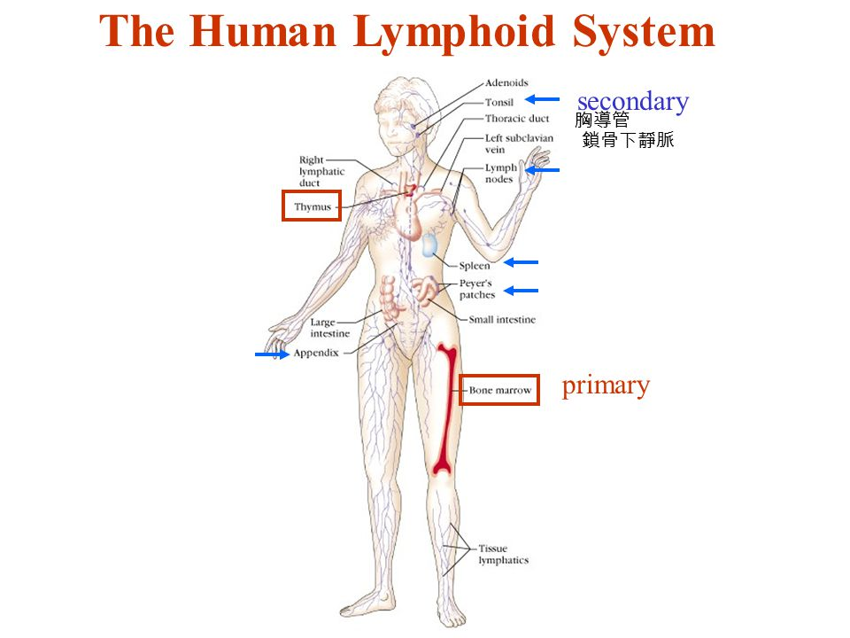 The Human Lymphoid System secondary primary 鎖骨下靜脈 胸導管