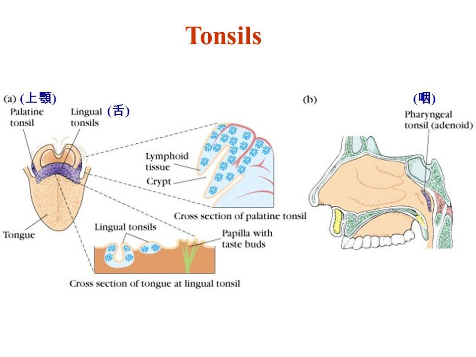 Tonsils ( 上顎 ) ( 舌 ) (咽)(咽)