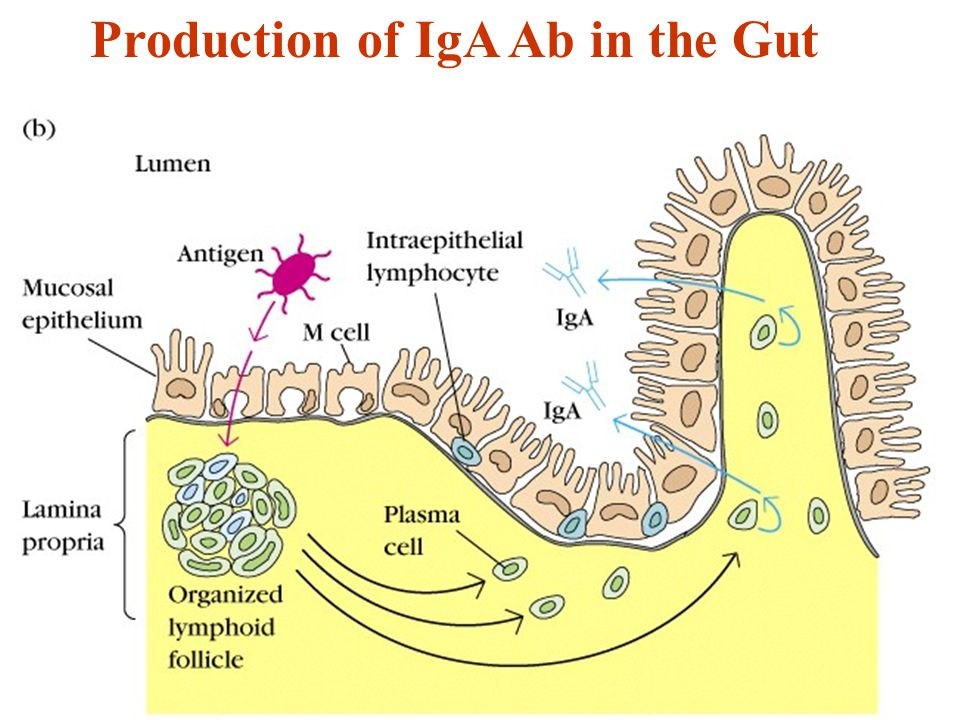 Production of IgA Ab in the Gut