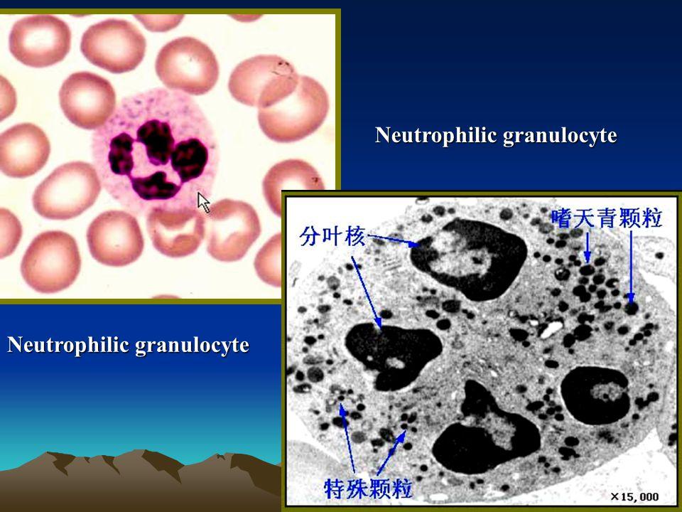 Neutrophilic granulocyte