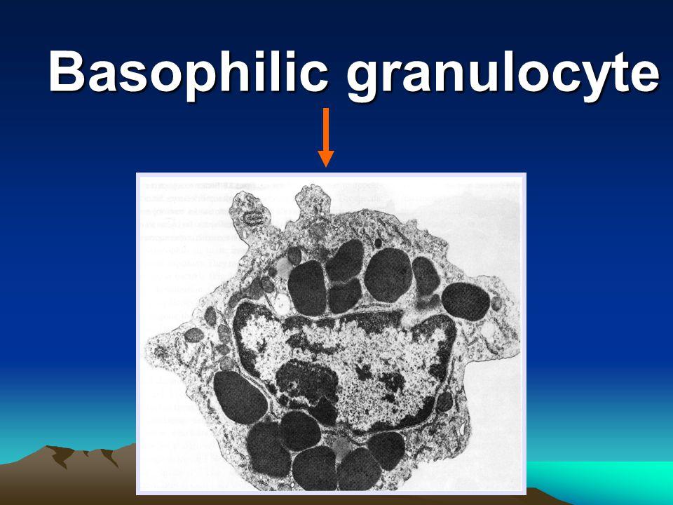 Basophilic granulocyte