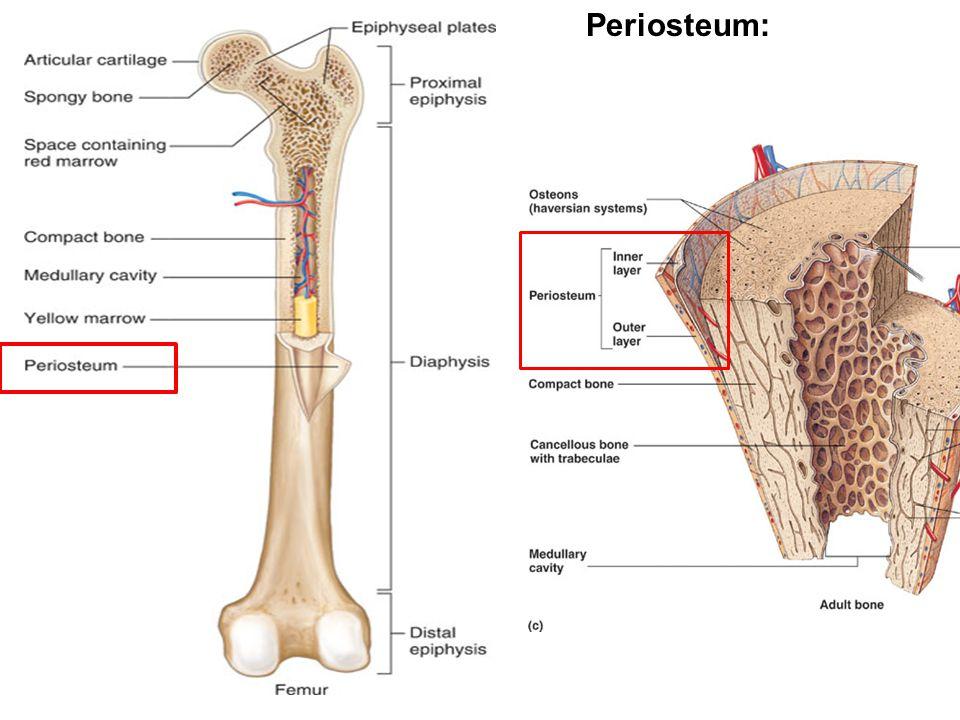 Periosteum: