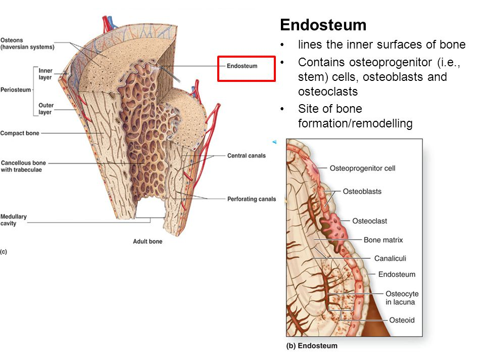 Endosteum lines the inner surfaces of bone Contains osteoprogenitor (i.e., stem) cells, osteoblasts and osteoclasts Site of bone formation/remodelling