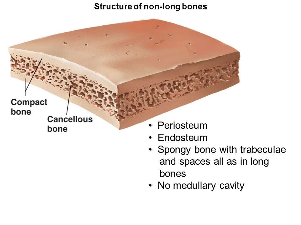 Structure of non-long bones Periosteum Endosteum Spongy bone with trabeculae and spaces all as in long bones No medullary cavity
