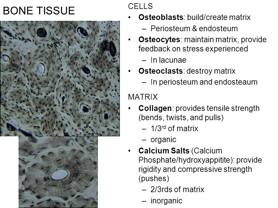 BONE TISSUE CELLS Osteoblasts: build/create matrix –Periosteum & endosteum Osteocytes: maintain matrix, provide feedback on stress experienced –In lacunae Osteoclasts: destroy matrix –In periosteum and endosteaum MATRIX Collagen: provides tensile strength (bends, twists, and pulls) –1/3 rd of matrix –organic Calcium Salts (Calcium Phosphate/hydroxyappitite): provide rigidity and compressive strength (pushes) –2/3rds of matrix –inorganic