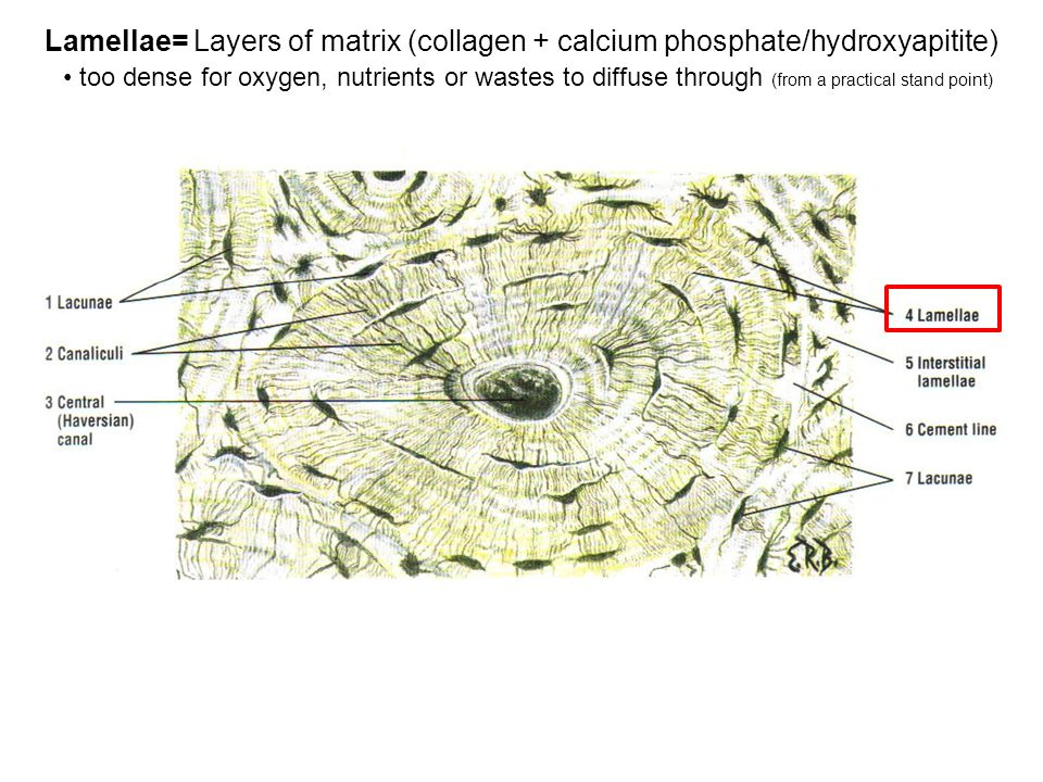Lamellae= Layers of matrix (collagen + calcium phosphate/hydroxyapitite) too dense for oxygen, nutrients or wastes to diffuse through (from a practical stand point)